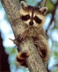 baby-raccoon