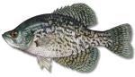 Big Bear LakeFish