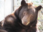 Black-bear-Huckleberry-1-300x225