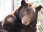 Black-bear-Huckleberry-1-300x225
