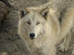 Wolf-300x225